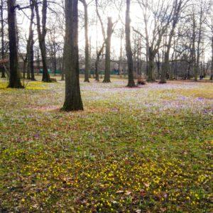Großer Garten Dresden Frühblüher Gelbe Windröschen